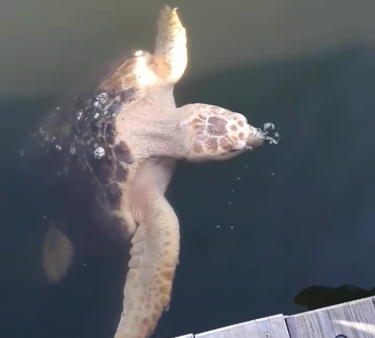 Sea Turtle Rescued at Cobb's Marina
